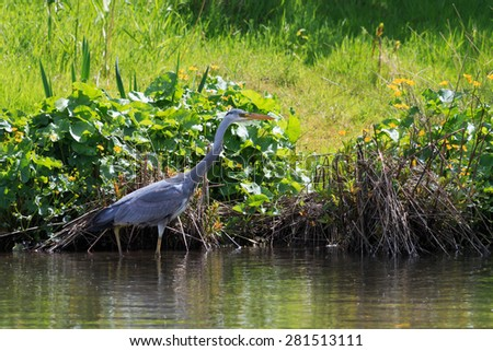 Grey Heron stood looking for fish in UK - stock photo