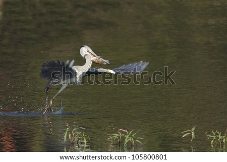 Grey heron taking of with fish