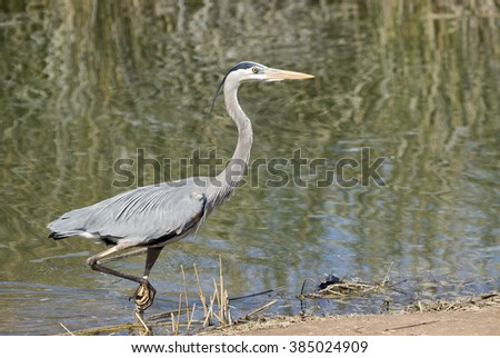 Grey Heron walking at the edge of a pond out of the water - stock photo