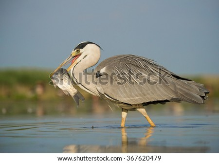 Grey heron with big fish in the beak, standing in the water with blue sky, Hungary, Europe - stock photo