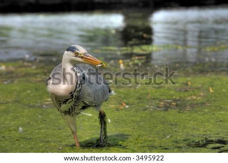 Grey heron with fish in its beak - stock photo