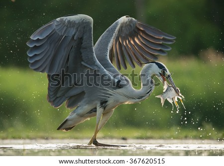 Grey heron with open wings, fishing, with fish in the beak, water drops in green background, Hungary, Europe - stock photo