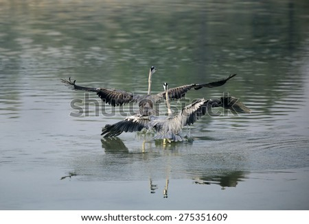 Grey Herons quarreling for territory - stock photo