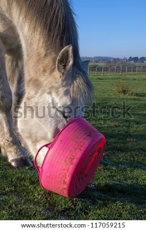 Grey horse determined to get every bit of food - stock photo