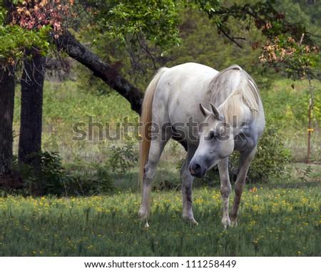 Grey Horse in Pasture - stock photo