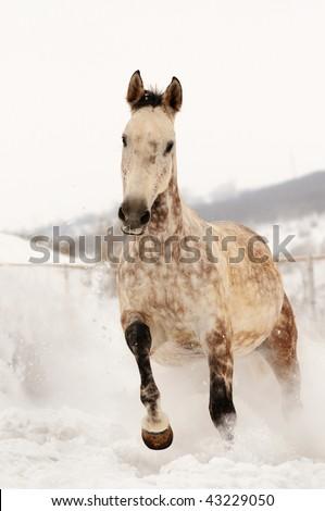 Grey horse in winter field - stock photo