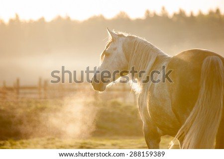 grey horse portrait in foggy cold sunrise with the steam from the nostrils - stock photo
