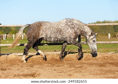 Grey horse running in the paddock. - stock photo