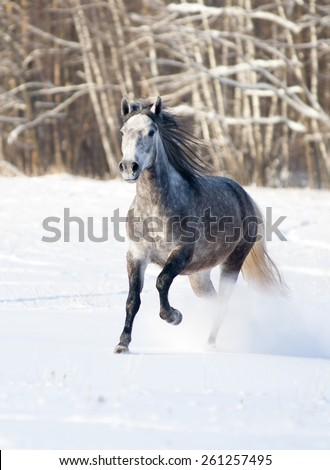 grey horse runs free in winter - stock photo