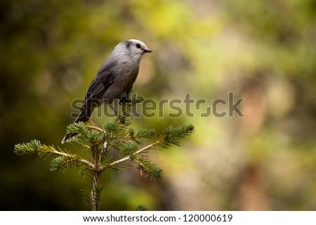 Grey Jay Bird - Rocky Mountain National Park - stock photo