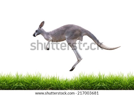grey kangaroo jump on green grass isolated on white background - stock photo