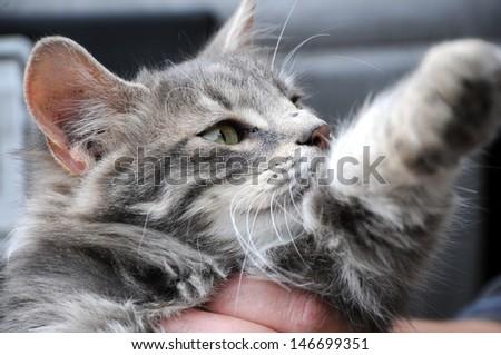 Grey Kitten - stock photo