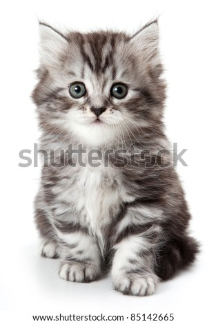 Grey kitten isolated on white - stock photo