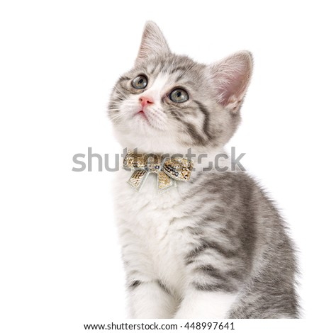 Grey kitten with a bow on his neck sitting on a white background and looking up. Portrait of the Scottish cat.
