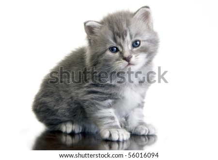 Grey kitten with dark blue eyes (isolated on a white background) - stock photo