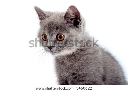 grey kitty isolated on a white background