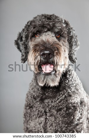 Grey labradoodle dog isolated on grey background. Anti allergy. Studio portrait.