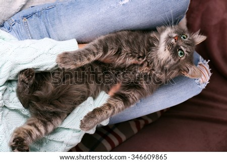 Grey lazy cat sleeping on woman's knees in the room, close up