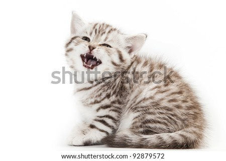 Grey Little Kitten on white background - stock photo