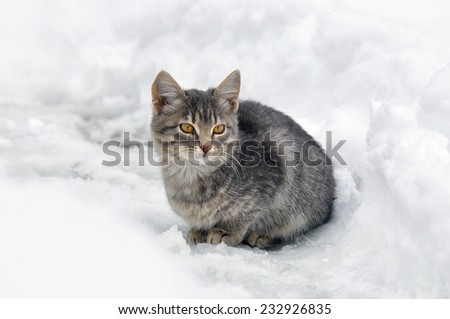 Grey little kitten with big orange eyes sitting in the snow