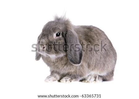 Grey lop-eared rabbit breeds Ram. In the Oriental calendar 2011 - the year of rabbit. - stock photo