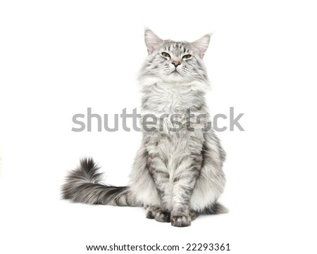 grey maine coon cat against white background - stock photo