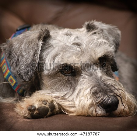 Grey miniature schnauzer dog resting on a brown surface indoors.  Vingetting added. - stock photo