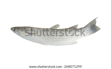 Grey mullet fish isolated