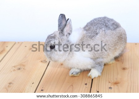 Grey Netherlands dwarf rabbit on wood floor - stock photo