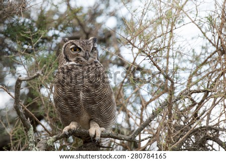 Grey owl portrait on the forest background