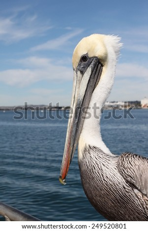 Grey pacific pelican with blue sky and water in the background. - stock photo