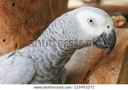 Grey Parrot on the branch