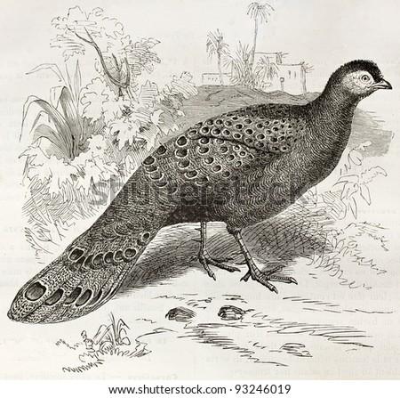 Grey Peacock-Pheasant old illustration (Polyplectron bicalcaratum). Created by Kretschmer and Schmid, published on Merveilles de la Nature, Bailliere et fils, Paris, ca. 1878 - stock photo