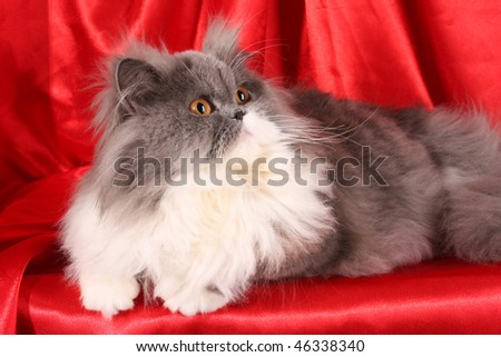 Grey persian cat on red background