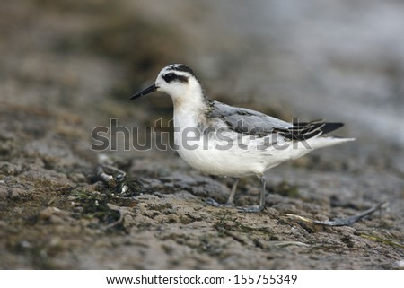 Grey Phalarope, Phalaropus fulicaria, winter plumage, Midlands, UK