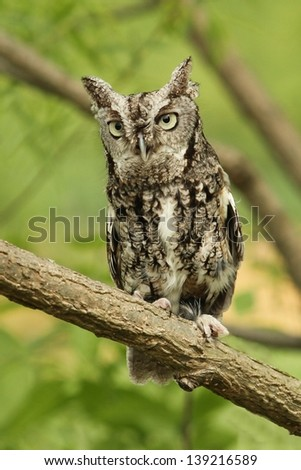 Grey Phased Screech Owl