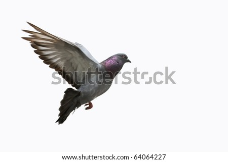 Grey pigeon in flight - stock photo