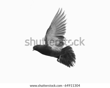 Grey pigeon in flight, white background - stock photo