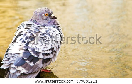 grey pigeon  near water ,blue birds on the street  ,loving  pigeon ,alone, grey birds ,fauna ,lovely bird ,cute ,nature ,amazing ,spring