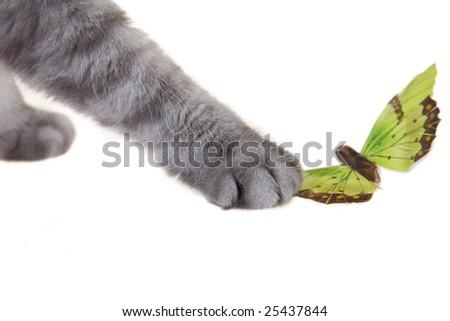 Grey playing scottish fold cat - stock photo