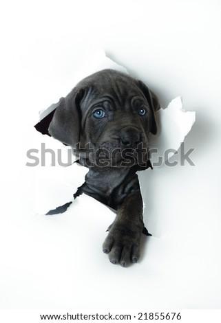 Grey puppy - stock photo