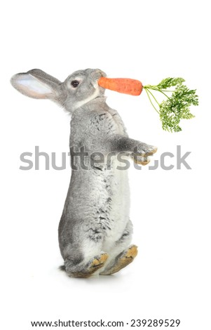 grey rabbit and carrots  on a white background - stock photo