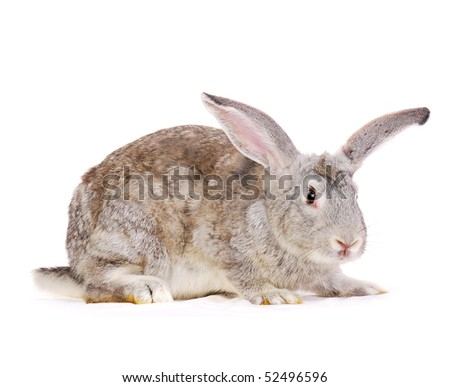 Grey rabbit isolated on white - stock photo