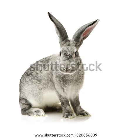 grey rabbit on a white background - stock photo