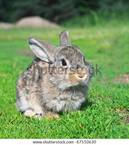 grey rabbit sitting on green grass - stock photo