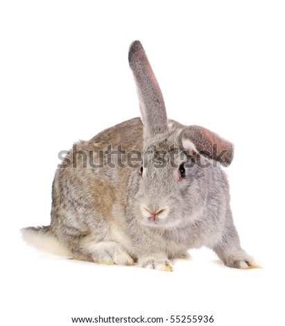 Grey rabbit with lifted ear isolated on white - stock photo