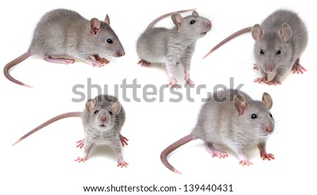 grey rat collection - stock photo