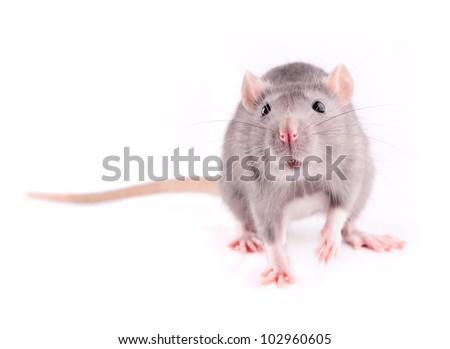 Grey rat isolated - stock photo