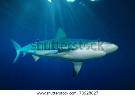 Grey Reef Shark - stock photo