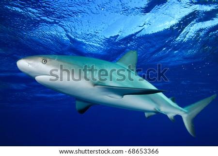 Grey Reef Shark (Carcharhinus amblyrhynchos) - stock photo